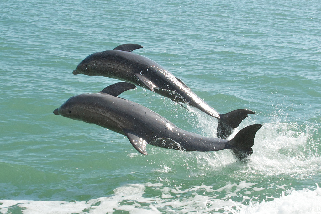 Doplhins in Florida Waters
